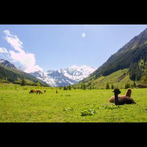 Alpen Alpakas