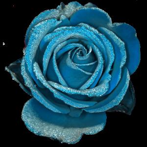 Rose Hellblau