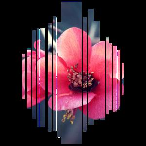 Blume Blüte Rosa Pink Natur Garten Geschenkidee