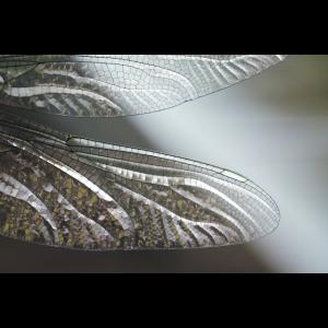 Libellenflügel
