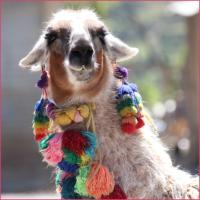 Alpaka Lama Tier Tiere Urlaub Urlaubsbild Peru Hip