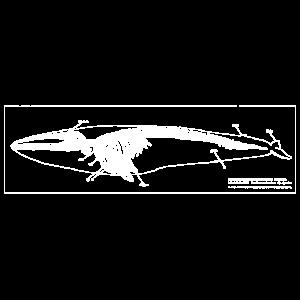 Blauwal Skelett
