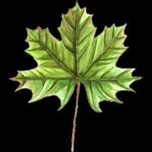Blatt eines Ahorns