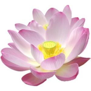 Original Lotusblüten