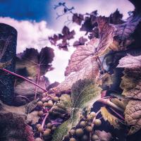 Weinreben mit grünen Weintrauben