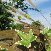 Efeu - Natur - Sommertag