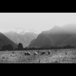 Mountain Sheeps / Analog Fotografie