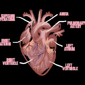 Herz Anatomie - Anatomie eines Herzens
