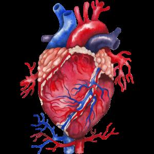 Herz Anatomie