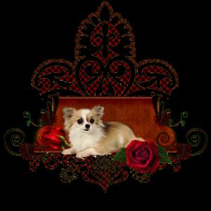 Niedliche kleine Chihuahua