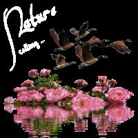 Natur , Nature calling, Wasser , Gänse , Rosen