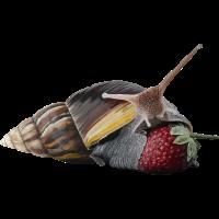Achatina Fulica Schnecke Riesenschnecken