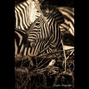 Zebra Junges