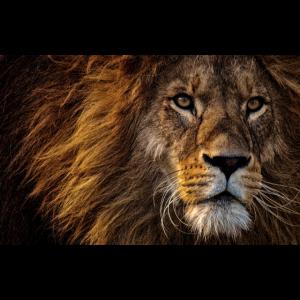 Löwe - Der König der Tiere Geschenkidee Geschenk