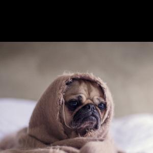 Sehr müder Mops - Sehr müder Hund