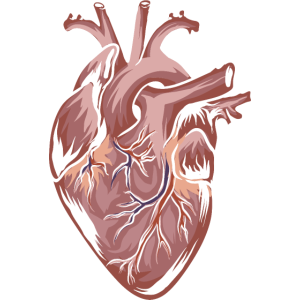 Anatomie Herz Herzen Heart Aorta Arterie