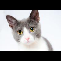 Süßes Kätzchen graue Katze