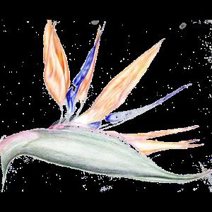 Strelitzia, handgezeichnet