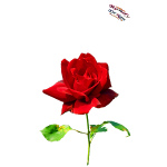 Rote Rose Shirt Randy Design