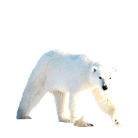 Ich liebe Eisbären