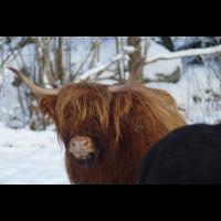 Verträumte Kuh