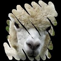 Das Alpaka überlegt wohl noch, ob es spucken soll