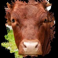 Das Pinzgauer Rind Vieh