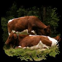 Pinzgauer Rind Vieh auf der Alm