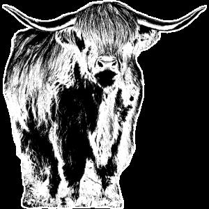 Hochlandrinder Schottland Kühe