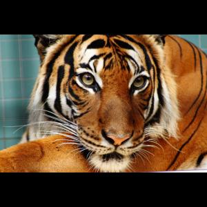 Der König des Dschungels: Tiger Poster