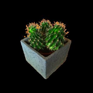 Kaktus Pflanze Deko