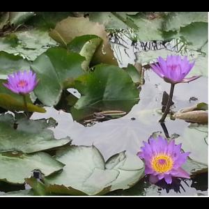 Lotusteich