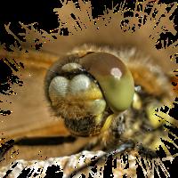 Haarige Großaufnahme einer Libelle