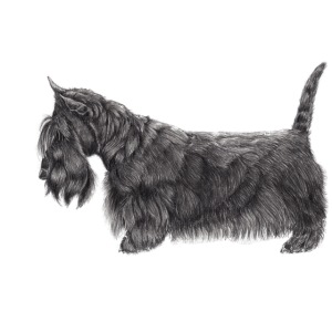 skotsk terrier ub