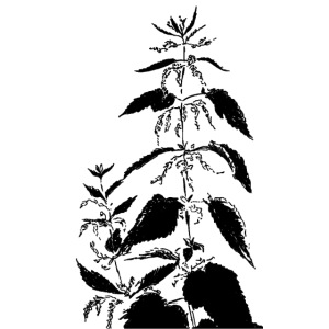 Brennnessel, urtica dioica