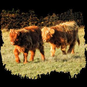 Zwei zottelige Hochland Kälber auf der Weide