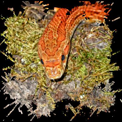 ca7074537 Korn Nattern sind bei Terrarien Freunde beliebt - Reptilien wie die  harmlose Korn Natter sind wechselwarme
