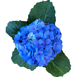 Hortensie blau von den Azoren
