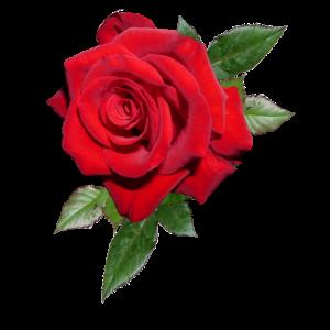 Rose mit Blättern in XXL