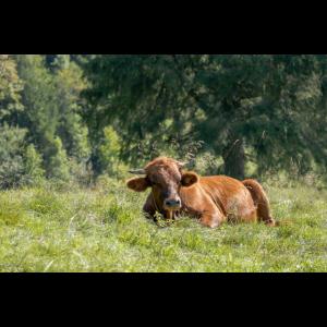 Kuh auf Alm - Deutsche Alpen - Bayern - Geschenk