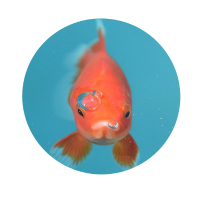 Goldfisch Blubber
