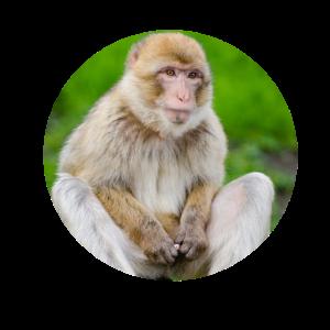 lustiger Affe hält seine Nudel