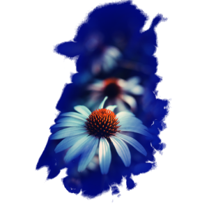 Bluete