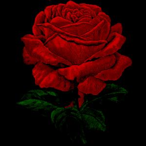 Vintage Rose rot