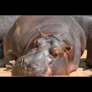 Nilpferd Flusspferd (Hippopotamus amphibius) Hippo