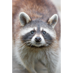 Nordamerikanischer Waschbär (racoons)