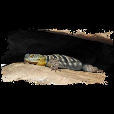 9839ec353 Reptilien können bei guter Pflege sehr alt werden - Agame können in  Gefangenschaft über 20 Jahre