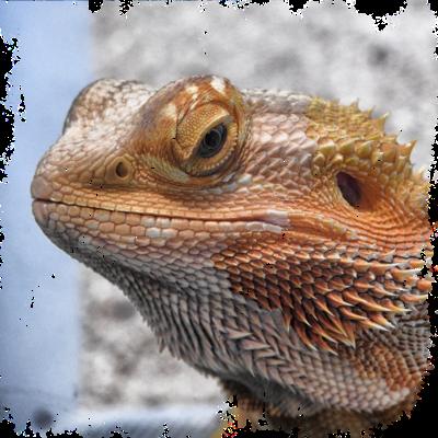 049b7eddb Bart Agame sind bei Terrarien Freunde sehr beliebt - Reptilien sind  wechselwarme Tiere, deren Lebensfunktionen