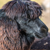 Alpaka (Vicugna pacos)