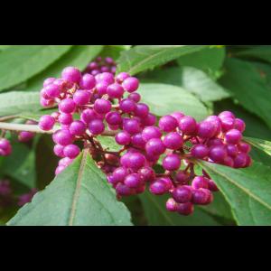 Liebesperlen oder Schönfrucht mit lila Beeren